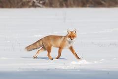 Fox sur la neige blanche Photos stock
