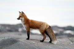 Fox sur la roche Photos stock
