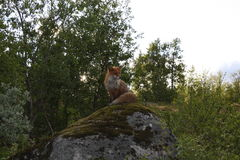 Fox sur la roche Photo stock