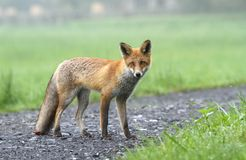 Fox sur le chemin Photo stock