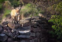 Fox sur le mur Photographie stock