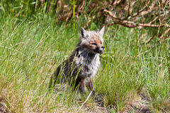 Fox sur le volcan Image stock