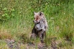Fox sur le volcan Images stock