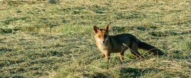 Fox sur une chasse à matin Image libre de droits