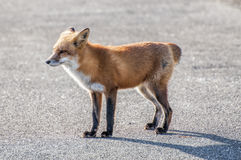 Fox Without A Tail. A female fox wandering around near the beach minus her tail Stock Images