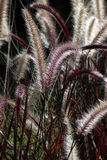 Fox tail grass Stock Photos