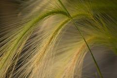 Fox Tail Grass Stock Photos