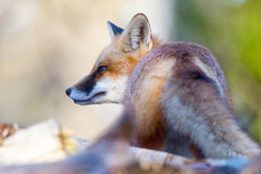 Fox Tail Royalty Free Stock Images