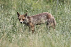 Fox in the tall grass Stock Images