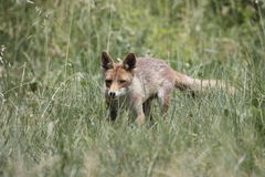 Fox in the tall grass Royalty Free Stock Photo
