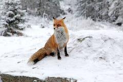 Fox в лесе на высоком Tatras, Словакии Стоковая Фотография