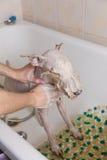 Fox terier bierze prysznic z mydłem i wodą Obraz Stock