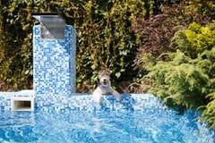Fox terier blisko basenu woda Zdjęcia Stock