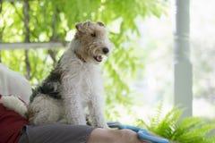 Fox Terrier à poils durs Photo libre de droits