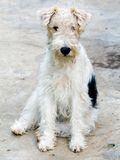 Fox terrier 1 Royalty Free Stock Photography