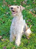 Fox terrier 10 stock photo