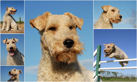 Fox terrier. Composite picture with purebred dogs fox terrier on a blue sky stock photography