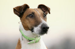 Fox terrier Stock Image