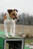 Fox terrier Stock Image