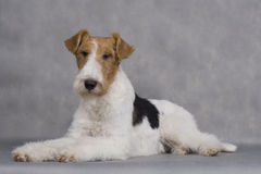 Fox-terrier Stock Foto