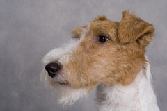 Fox-terrier Stock Afbeeldingen