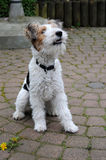 Fox terrier Royalty Free Stock Photos