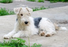 Fox terrier 3 Stock Photos