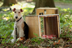 Fox terrier Fotografie Stock Libere da Diritti