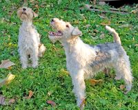Fox terrier 4 Royalty Free Stock Image