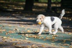 Fox terrier foto de archivo libre de regalías