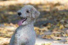 Fox terrier Foto de archivo