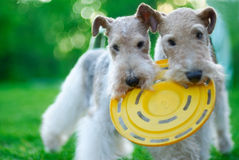 Fox terrier. Close up against a green grass Stock Photos