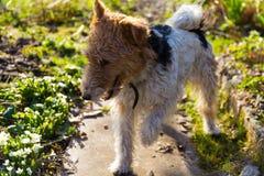 Fox terrier fotografia stock