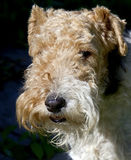 Fox terrier 9 Stock Images