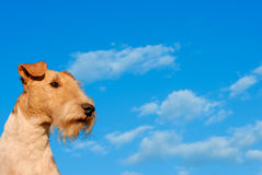 Fox terrier against the sky. Dog of breed fox terrier against the dark blue sky with clouds Royalty Free Stock Photos