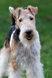Fox terrier (cavo) Immagini Stock