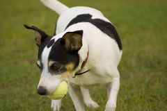 Fox terrier chasing a ball. A fox terrier chasing and catching a tennis ball in a back yard Royalty Free Stock Photography