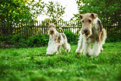Fox terrier Stock Images