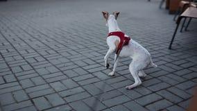 Fox terrier Concepto del cuidado de animales de compañía El perro lindo y de pelo corto en un correo mira adelante y se vuelve de almacen de metraje de vídeo