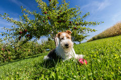 Fox Terrier de fil Photographie stock libre de droits