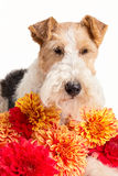 Fox terrier del alambre Imagen de archivo