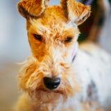 Fox terrier del alambre Foto de archivo