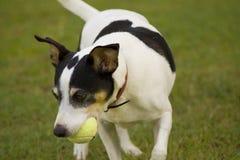 Fox-Terrier, der eine Kugel jagt Lizenzfreie Stockfotografie