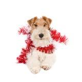 Fox-terrier die Kerstmisslingers dragen Stock Afbeeldingen