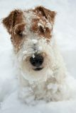 Fox terrier dog Royalty Free Stock Photography