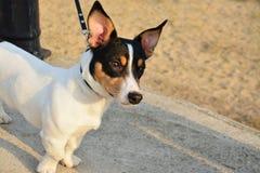 Fox terrier dog Stock Photo