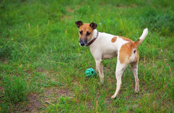 Fox terrier dog with a ball Royalty Free Stock Photo