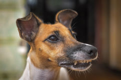 Fox Terrier Dog muzzle closeup Stock Photography
