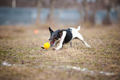 Fox terrier dog playing with a toy ball. Cute funny fox terrier dog playing with a toy ball royalty free stock images