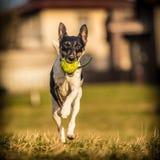Fox terrier dog Stock Photography
